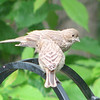 House Finch Fledglings - May 22