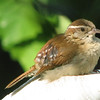Wren Fledgling - May 2007