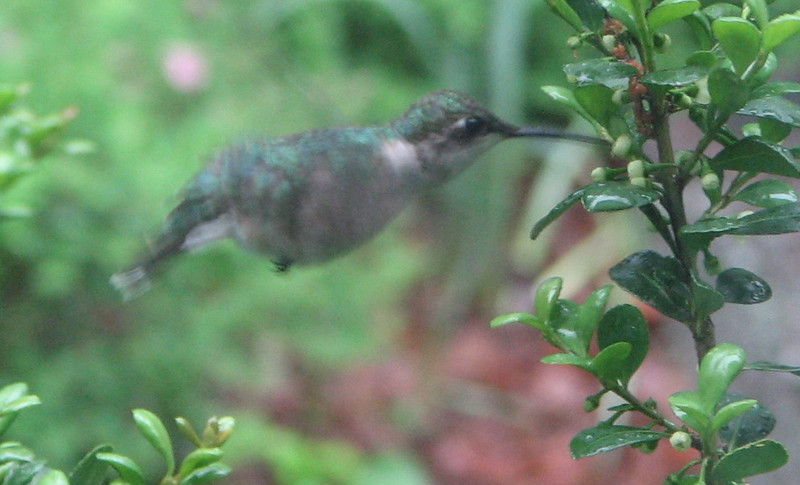 Female Ruby-throated Hummingbird Feeding on Holly Flowers - May 18