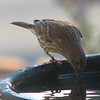 Female House Finch at Heated Birdbath