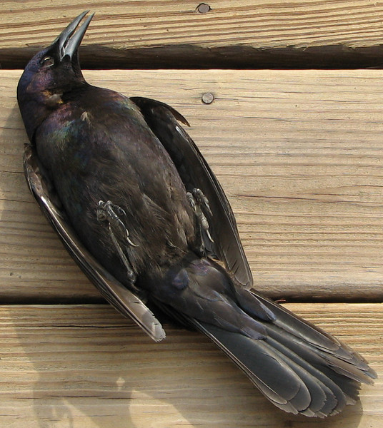 Common Grackle That Hit Window on Deck Door Landing On Its Back - March 26