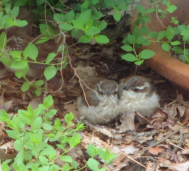 Wren Babies - Day After Fledging From Nest - May 4