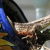 Eastern Fence Lizard in Teapot Nest_2