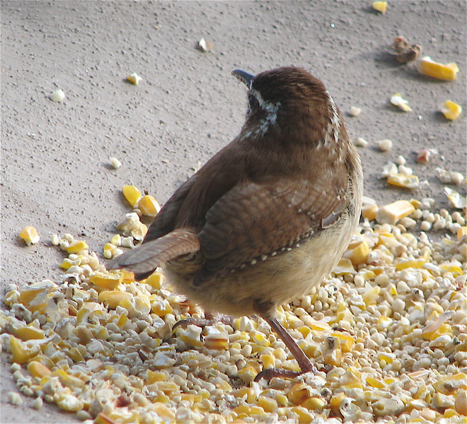 Wren Digging for Peanut Hearts in Winter Mix