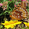 Great Spangled Fritillary Butterfly on Coreopsis_6