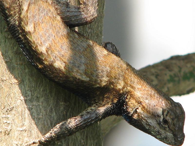 Shedding Eastern Fence Lizard - June 1_2