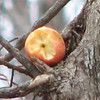 Squirrel Leaves Apple For Later