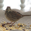 Cute Frontal View of Song Sparrow
