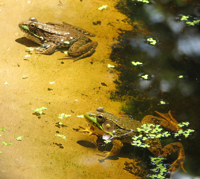 Life Around the Pond - Mr. and Mrs. Green Frog