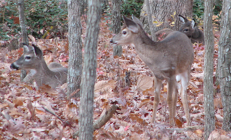 Three Deer Resting In Our Rear Yard_2