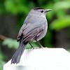 Gray Catbird on Deck Post - May 18