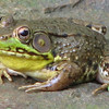 Mr. Green Frog Singing - Sounds Like a Rubberband Twang