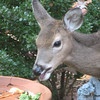 Deer At The Backyard Wildlife Feeder - Veggie and Fruit Scraps - No Long Eyelashes On This Young One