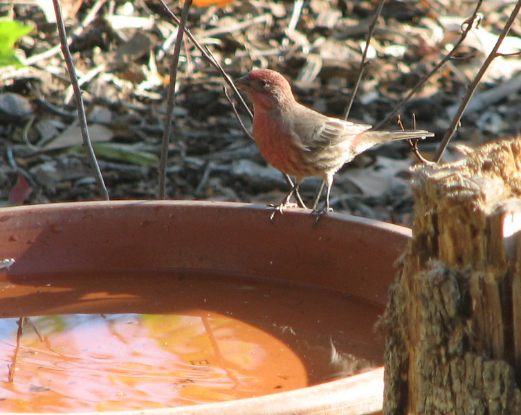 Pretty Male House Finch Ready For a Drink