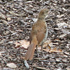 Molting Brown Thrasher_3