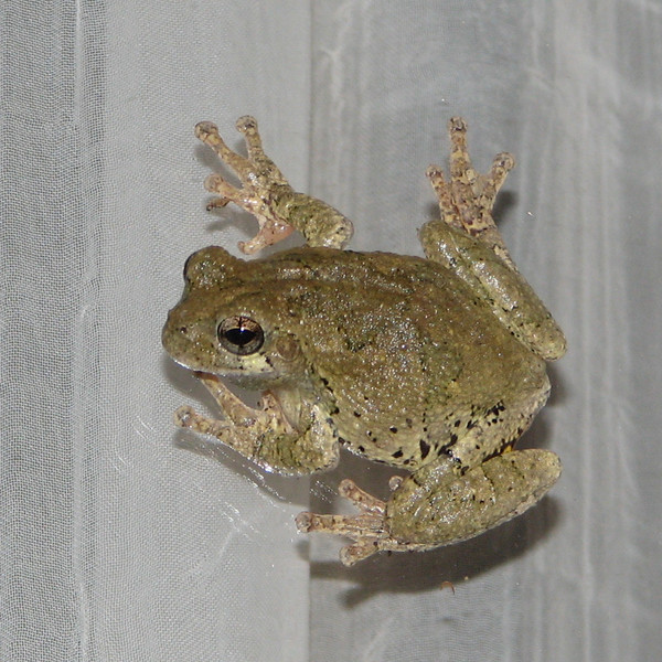 Eastern Gray Tree Frog on Deck Door At Night