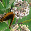 Two Butterflies and a Bee on Common Milkweed
