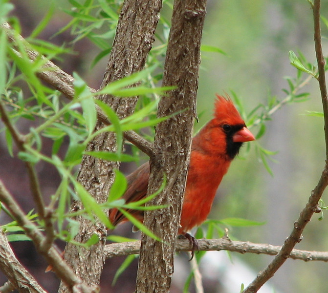 A Pretty Male Cardinal Profile