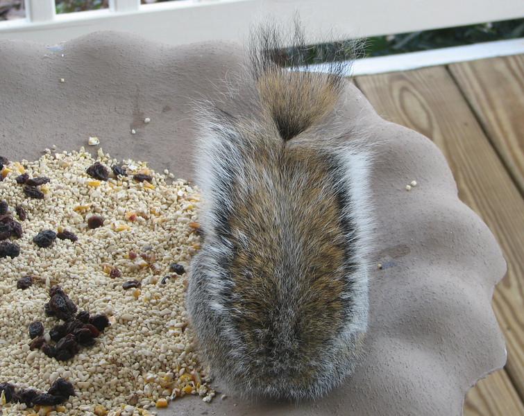 Closeup of Ponytail Squirrel Tail