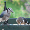 Juvenile Blue Jay and Red-headed Woodpecker_2