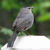 Gray Catbird on Deck Post - May 18