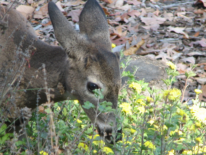 First Year Deer Have Eaten Heritage Mums