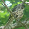 Tufted Titmouse After a Plunge in the Bird Bath