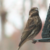 Purple Finch_3