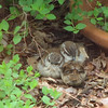 Two Heads and a Tail - Wren Babies - Day After Fledging From Nest - May 4