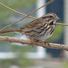 Song Sparrow on Winter Morning