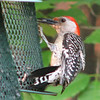 Male Red-bellied Woodpecker on Feeder