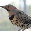 Male Northern Flicker at Bird Bath