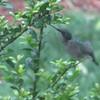 Female Ruby-throated Hummingbird Feeding on Holly Flowers - May 18_2