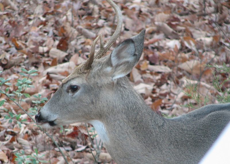 Deer - Young Buck With Short Antler On One Side