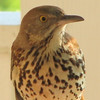 Brown Thrasher - Boy Are YOU Gorgeous