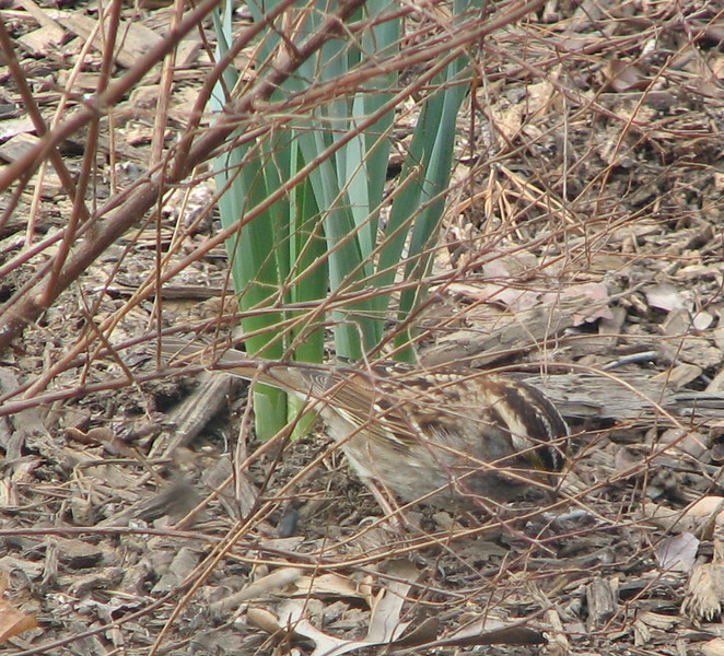 The Coloration of Sparrows Provides Camouflage Amidst Their Habitat on the Ground - White-throated Sparrow