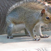 Gray Squirrel on Concrete Bench - Look At Those Knobby Toes