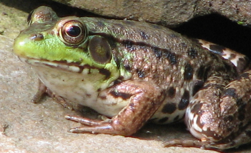 Female Green Frog - Look at That Pretty Belly