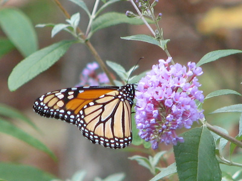 My November 1 Monarch_2