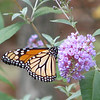 My November 1 Monarch_2