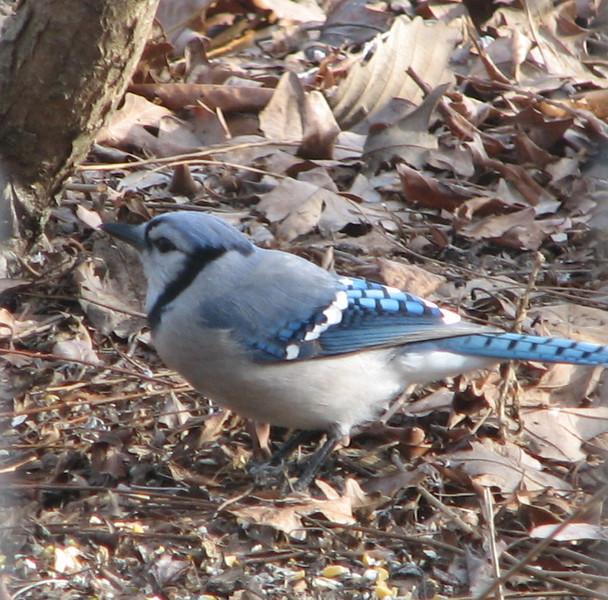 Blue Jay on Ground