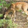 Fawn In Front Garden_2