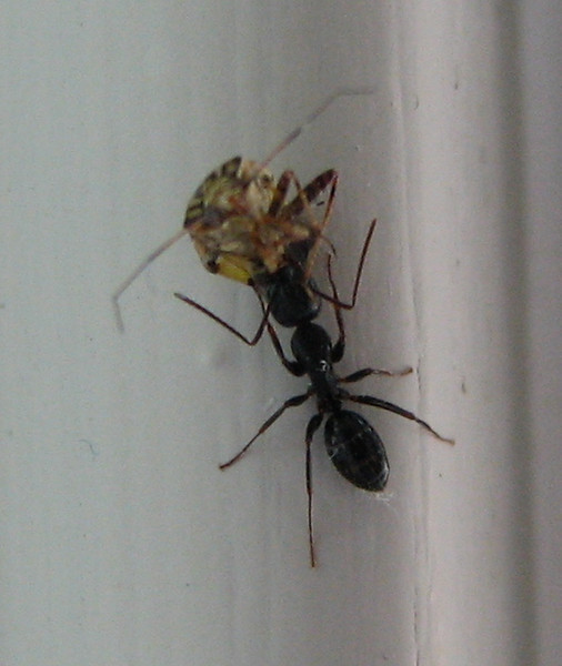 Black Ant Carrying a Meal