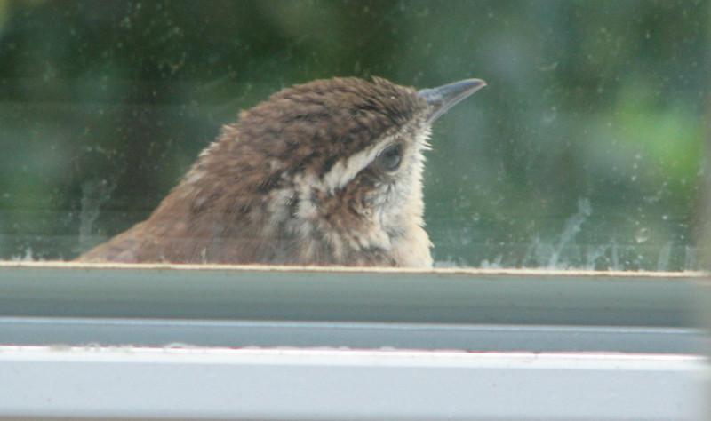 Wren at the Window