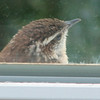 Wren at the Window