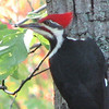 Pileated Woodpecker, Male With Red Mustache_2