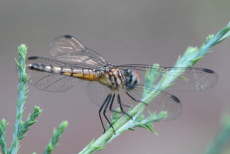 Dragonfly on Cedar