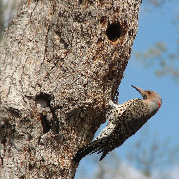 Male Northern Flicker - April 20