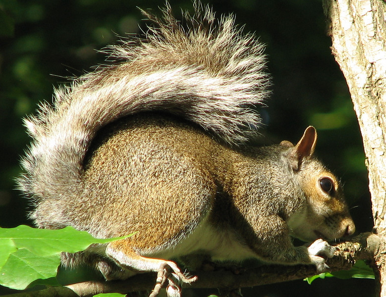 Striped Tail Squirrel - One of Our Cuties