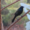 Grackles Are Back - March 2